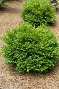 1000 images about evergreen trees shrubs on pinterest