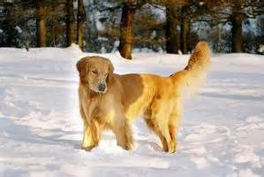 golden retriever bone cancer symptoms signs symptoms of bone cancer in dogs ehow