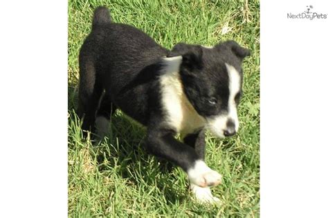 mcnab puppies for sale mcnab puppy for sale near chico california a94f4523 5b21