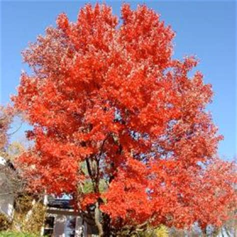 sunset maple tree root system sunset 174 maple shade trees stark bro s
