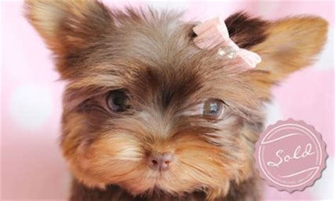 chocolate yorkie poo puppies for sale yorkie puppies and teacup yorkies for sale in south florida just