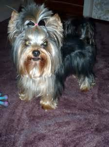 yorkie haircuts pictures explore yorkie haircuts pictures and select the best style