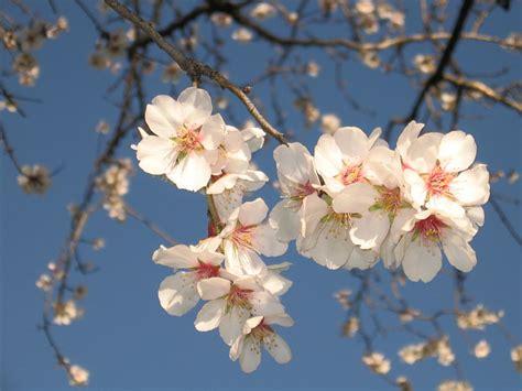 mandorlo in fiore 2014 sagra mandorlo in fiore 2014 la festa di agrigento