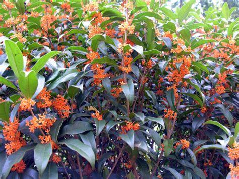 tea olive home garden information center