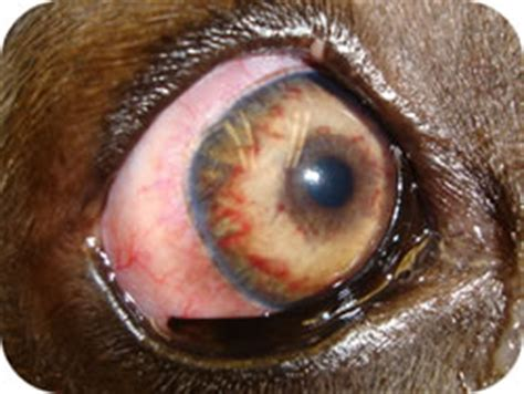 uveitis in dogs eye a common problem with implications