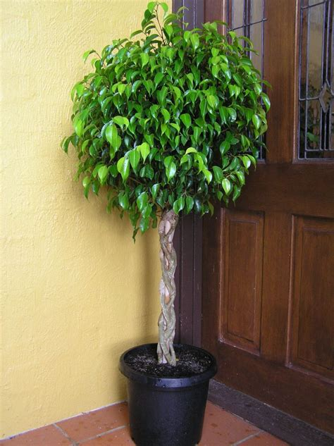indoor plans ficus benjamina indoor flower