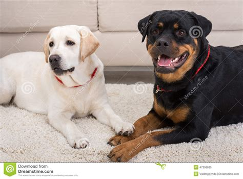 rottweiler white white rottweiler www pixshark images galleries with a bite