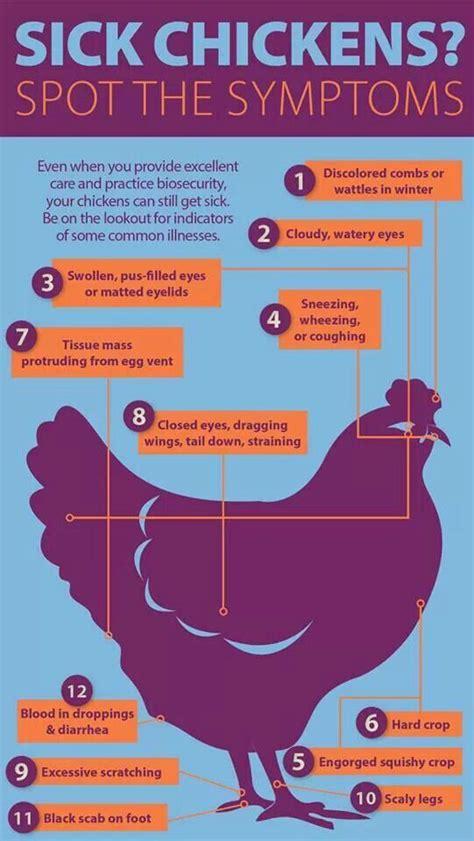 sick symptoms sick chickens chickens