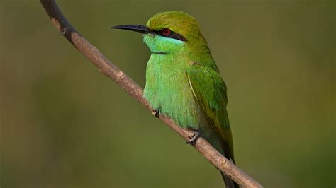 bee eater wallpapers first hd wallpapers green bee eater full hd wallpaper and background image