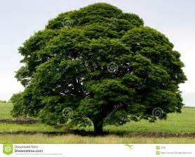 Classically shaped tree in full leaf on a simple clutter free