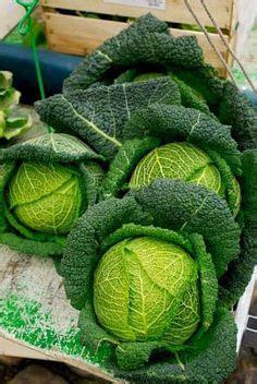 cabbage leaves images potager garden vegetables