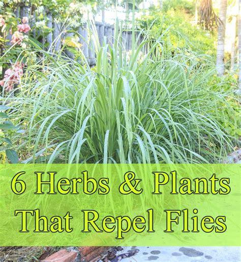 6 fragrant herbs that repel flies