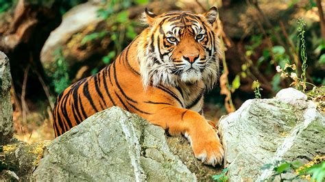 what are the different types of tigers living controversial study claims there are only two types of tiger science aaas