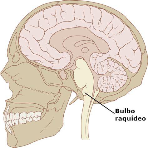 partes del bulbo raquideo bulbo raqu 237 deo anatom 237 a caracter 237 sticas y funciones con