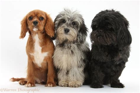 cavalier shih tzu puppies dogs daxiedoodle pup ruby cavalier pup and black shih tzu photo wp36045