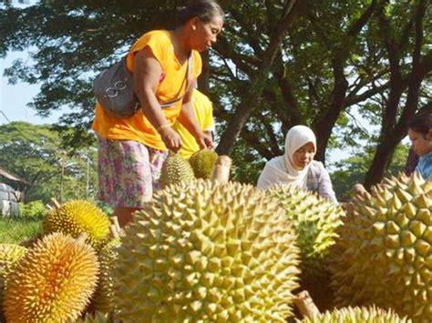 Bibit Durian Petruk Jepara tanaman buah durian petruk daftar update harga terbaru