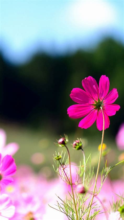 pink wallpaper for sony xperia 720x1280 wild pink flowers sony xperia wallpaper hd mobile
