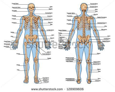 human skeleton posterior anterior view didactic stock