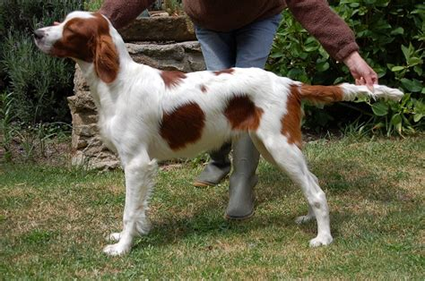 red setter dog info irish red and white setter irws info puppies pictures