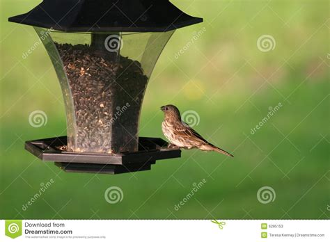 feeding finches backyard backyard house finch feeding stock photos image 6285153