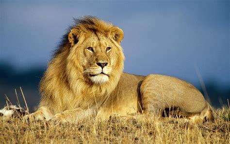 imagenes leones del ccs la tr 225 gica historia del joven que se lanz 243 a una jaula de