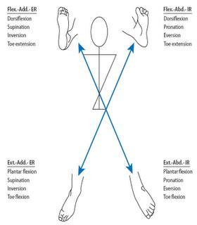 cadenas musculares de miembro superior pdf m 233 todo kabat dentro de la facilitaci 243 n neuromuscular