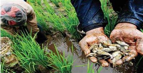 Benih Ikan Gurame Di Aceh budidaya ikan di aceh terancam oleh penggunaan pestisida