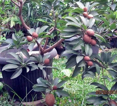 Bibit Tanaman Buah Sawo Manalagi Bibit Sawo Unggul jenis tanaman buah yang bisa ditanam dalam pot bibitbunga