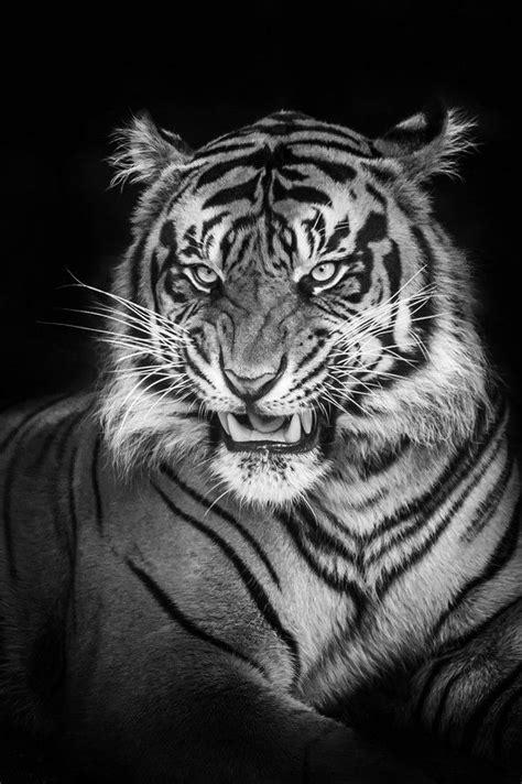 Pin de Tobias Z. Christensen em Tiger | Tatuagem de