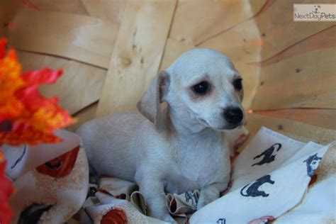 dachshund puppies tulsa dachshund for sale near tulsa oklahoma breeds picture