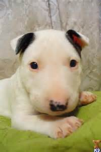 how are dogs considered puppies de 25 bedste id 233 er inden for bull terriers p 229 mini bull terriers og terrier