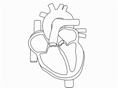 coloring page of a real heart human heart coloring pages a p pinterest cuerpo