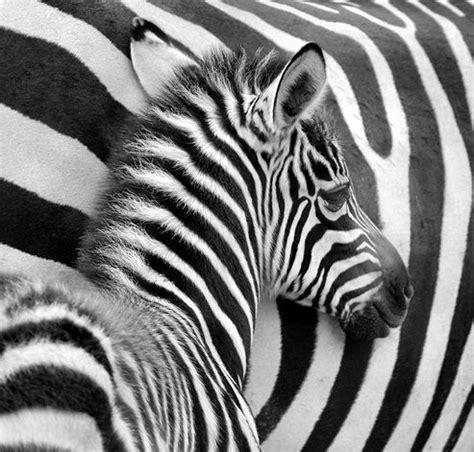 zebra pattern meaning the 25 best zebras ideas on pinterest zebra pictures