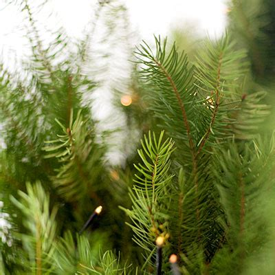 what christmas tree smells like citrus 301 moved permanently
