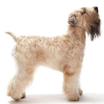 wheaten terrier puppies cost soft coated wheaten terrier medium breed fancy popular pet breeds