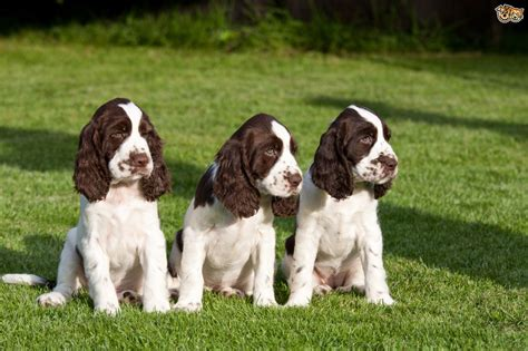 imagenes de english springer spaniel springer spaniel adults www pixshark com images
