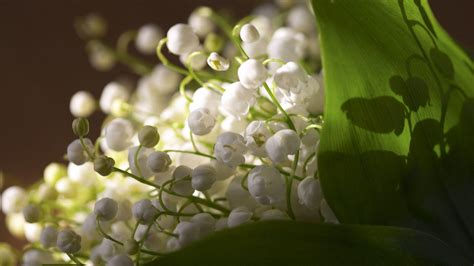 wallpaper flower valley lily of the valley wallpapers wallpaper cave