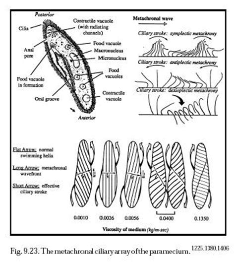 paramecium coloring no s 243 lo el 3 colouring pages