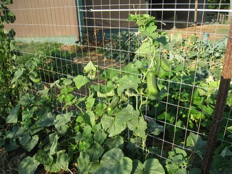 How To Grow Cucumbers On A Trellis growing cucumbers on a trellis trellis cucumbers edible gardening trellis