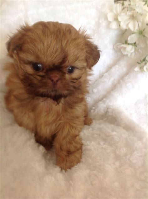 imperial shih tzu breeders uk tarashima imperial shih tzu puppies sandown isle of wight pets4homes
