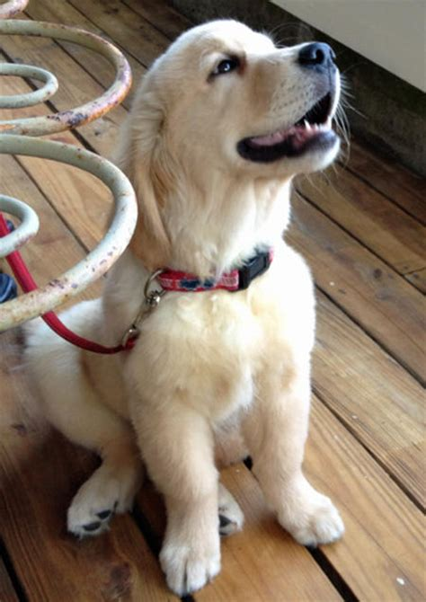when to stop feeding puppy food golden retriever brody the golden retriever puppies daily puppy