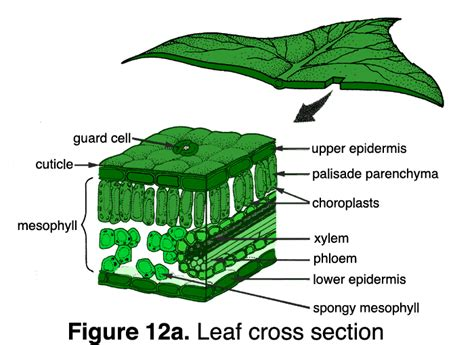 diagram of cross section of a leaf quia plants vocab 2