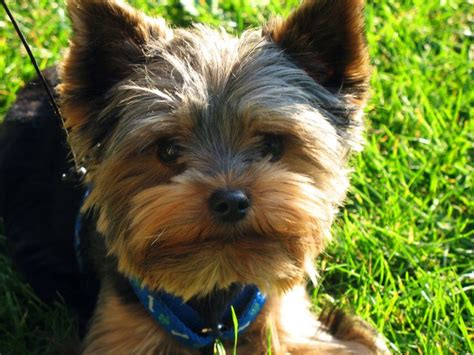 is a yorkie hypoallergenic yorkie barking is your terrier barking breeds picture