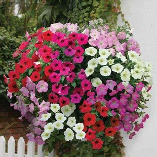 Pot Bunga Uk 40cm petunia grand prix trailing 70 plants