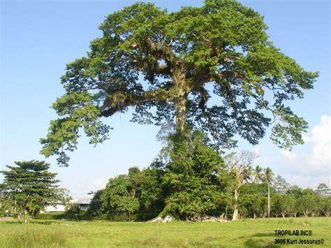 Ceiba Pentandra L.  Kapok tree.