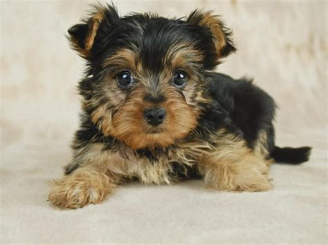caring for yorkies how to take care of a teacup yorkie puppy cuteness