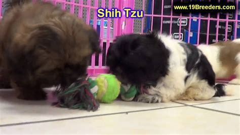 puppies for sale in fairbanks shih tzu puppies dogs for sale in anchorage alaska ak 19breeders fairbanks