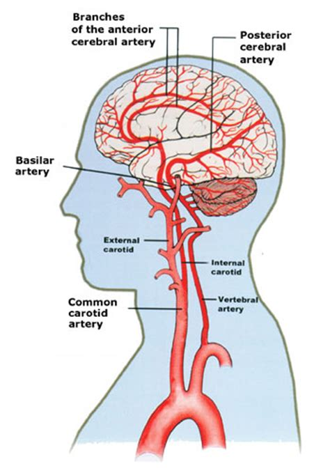 blood flow through the brain diagram just an0ther bl0g stroke