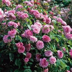 Austin Flower Delivery Gertrude Jekyll Highly Recommended Popular Searches