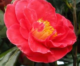 camellia flower pictures beautiful flowers